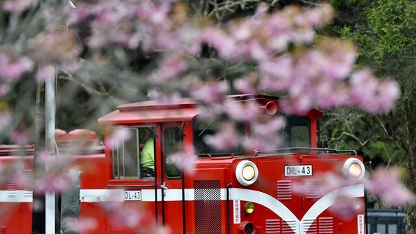 阿裏山迎來賞花季 櫻花盛放漫山遍野
