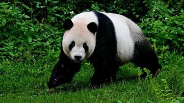 視頻:贈臺大熊貓十年迎客兩千余萬