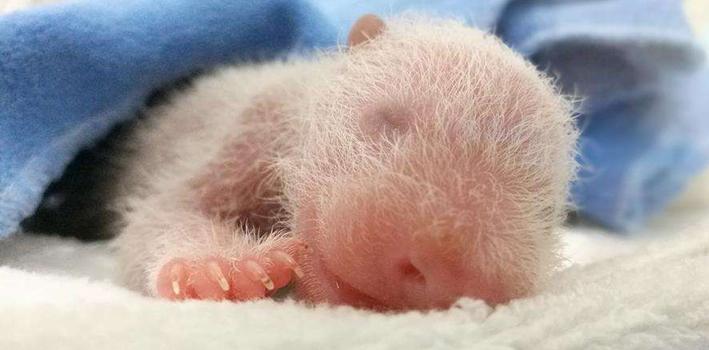 大熊貓家族喜添新丁 兩只大熊貓共産下三只幼仔