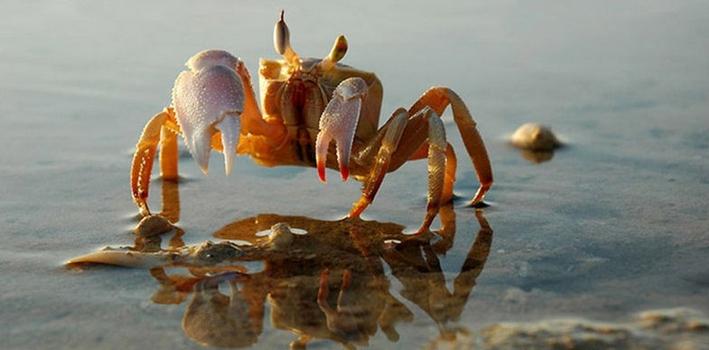 螃蟹注膠?純屬謠言!