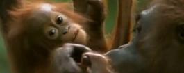雨林 小象和紅毛猩猩