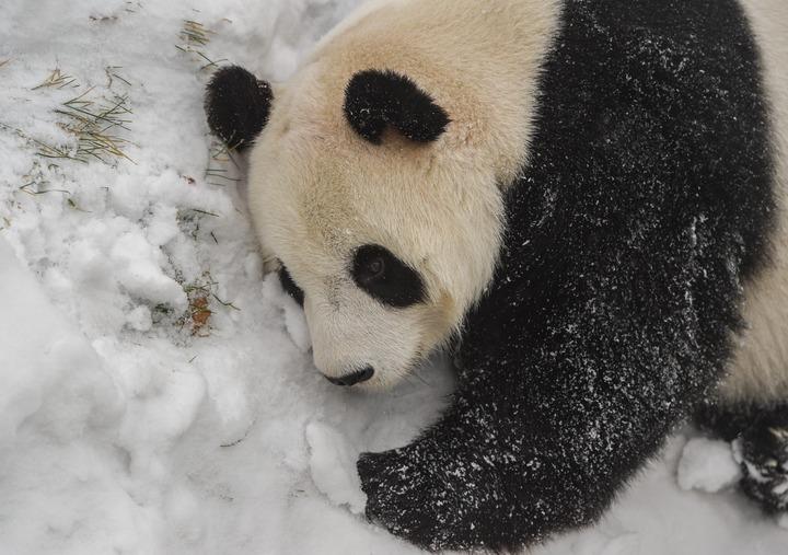 探秘沈陽的大熊貓如何過冬