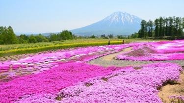 北海道芝櫻綻放 遊人醉心