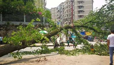 六層樓高大樹轟然倒下!