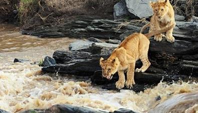 水流湍急小獅子勇敢過河