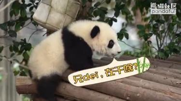 熊貓社區短視頻 滾滾,你是真的皮!