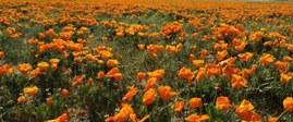 美國南加州野生罌粟花進入盛花期