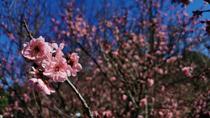 來悉尼櫻花節看落英繽紛