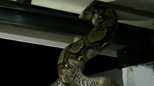 泰國:消防隊員徒手抓蛇 每年捕蛇800條
