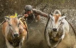狂野! 慶豐收 印尼辦傳統奔牛賽