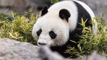 """大熊貓""""福妮""""和""""網網""""在澳大利亞動物園慶生"""