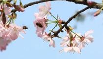 四川瀘州:櫻花爛漫幾多時