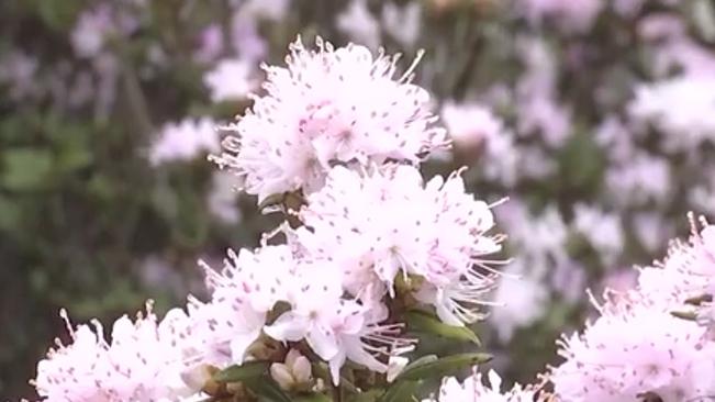 貴州烏蒙大草原:萬畝杜鵑花開成海