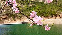 桃花怒放流水潺潺 春日泰山彩石溪恍如桃源秘境