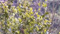 湖北恩施:發展茶葉種植 助力百姓脫貧增收