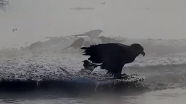 南海子濕地:白尾海雕覓食