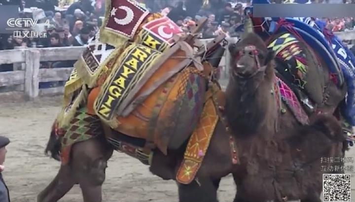 """為""""愛""""而戰 土耳其駱駝摔跤大賽開幕"""