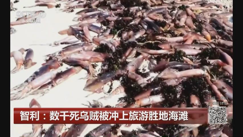 智利:數千死烏賊被衝上旅遊勝地海灘