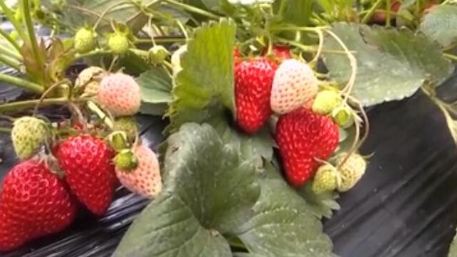 河北石家莊:草莓進入採摘季