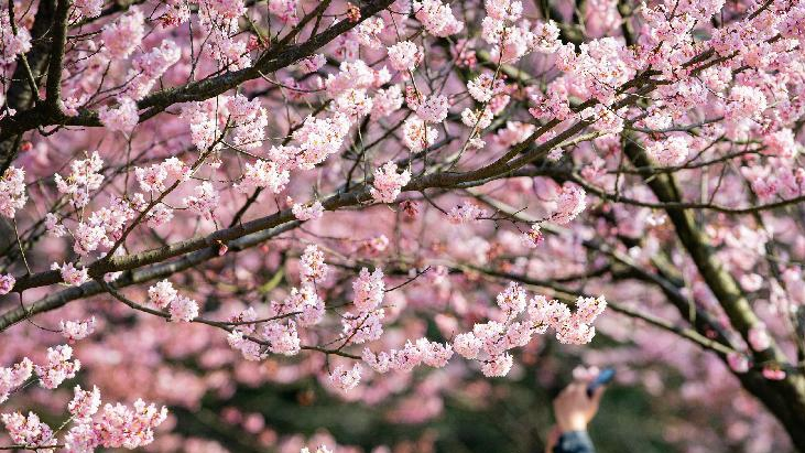 春光無限好 賞花正當時