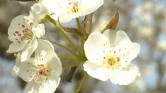 安徽碭山:萬畝梨花開 踏青正當時