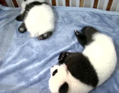 西安:三只秦嶺大熊貓寶寶 期待愛心認養