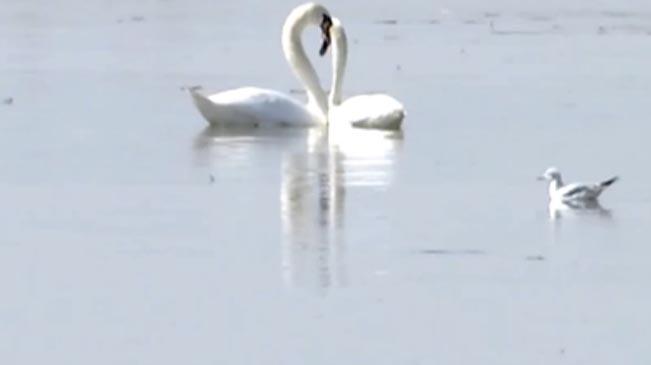 飛鳥翔集!烏梁素海濕地迎來百萬遷徙候鳥