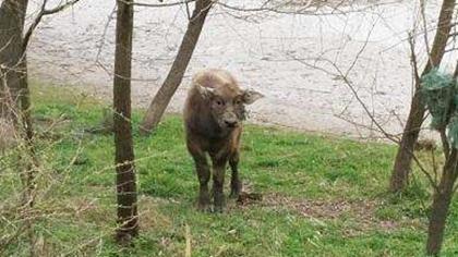 新買的牛把主人逼上樹 對視三小時