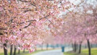 雲賞花!上海辰山植物園櫻花爛漫