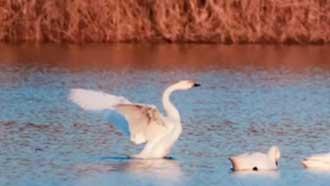 山東夏津:好生態引白天鵝翩躚而至