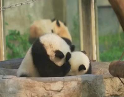 """重慶:動物園開園 大熊貓""""四寶""""惹人愛"""
