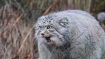 內蒙古:兔猻覓食誤闖餐廳 小心保護野外放生
