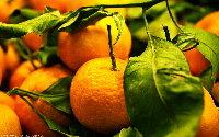 金秋吃橘子的正確姿勢 你get到了麼?