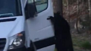 加拿大黑熊輕松開門跳上車