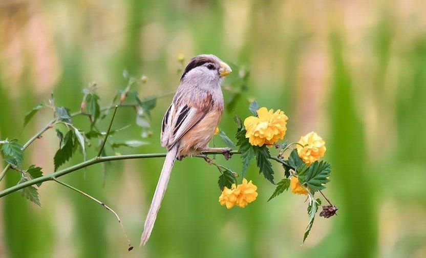 中國珍稀物種 震旦鴉雀