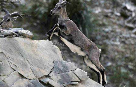 中國珍稀物種 岩羊