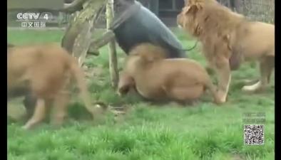獅子腦袋被卡圓桶中
