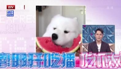 薩摩耶開吃播 吃瓜太可愛