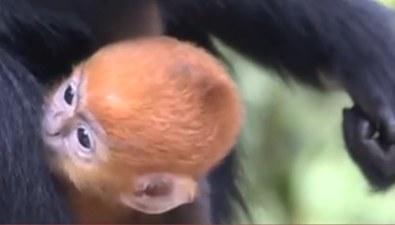貴州:首次拍到黑葉猴集體進出洞過程