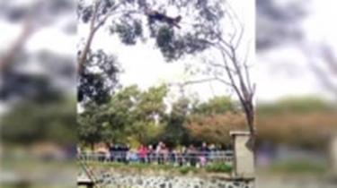 遊客寵物狗跑進動物園 嚇得小熊貓竄上樹