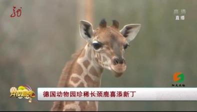 德國動物園珍稀長頸鹿喜添新丁