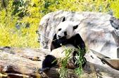 """大熊貓""""寶寶""""回國在即 華盛頓動物園熊貓團隊接受採訪"""