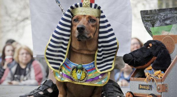 俄羅斯舉行臘腸犬遊行活動 汪星人盛裝參加