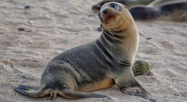 攝影師厄瓜多爾拍攝海獅 小家夥鏡頭前萌態百出