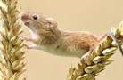 攝影師拍小巢鼠攀在麥穗上玩耍 呆萌又可愛
