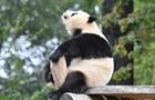 旅德熊貓在柏林動物園 萌態百出令人忍俊不禁
