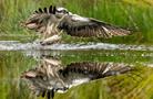 攝影師捕捉魚鷹捕食瞬間 如鏡水面記錄震撼瞬間