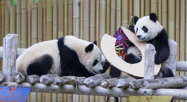 """【時空新聞】厲害了,我的熊貓!看看""""滾滾""""們的海外日志"""
