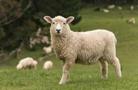 上千只绵羊死在途中 澳大利亚拦下出口货轮