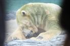 健康狀況惡化 世界首頭熱帶出生北極熊安樂死
